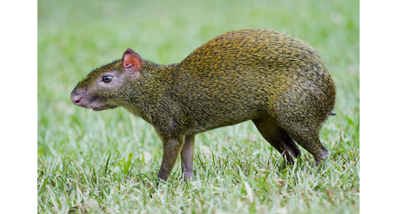 Agouti. Our hero. This squirrel like rodent distributes the nuts around the virgin forest where they turn into magnificent trees...